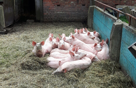 schwein zuhause zerlegen